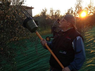 la-raccolta-delle-olive-all-azienda-agricola-ducale